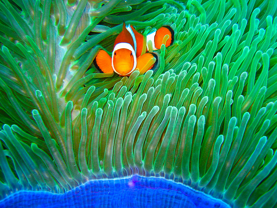 A Clown fish from the Balicasag Island Marine Sanctuary