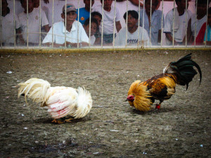 Roosters at a Cock Fight in the Philippines