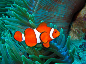 Underwater photo of a clown fish from the Balicasag Island Marine Sanctuary