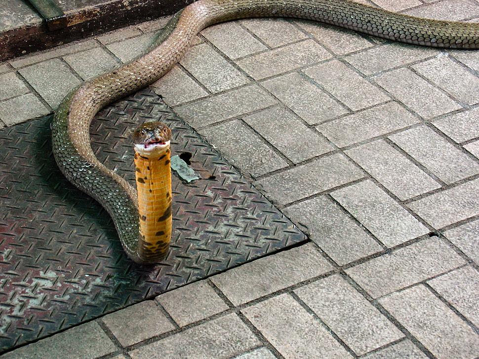 A huge King Cobra from the Bangkok Snake Farm