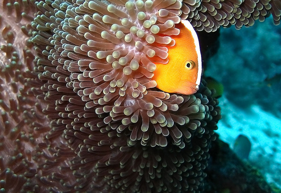 Underwater Photo of a Clown Fish in the Philippines
