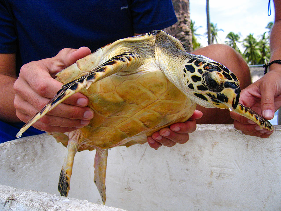 Releasing an Endangered Hawksbill Sea Turtle