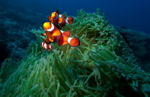 Orange Clown Fish and Green Anemone at the Apo Island Marine Sanctuary