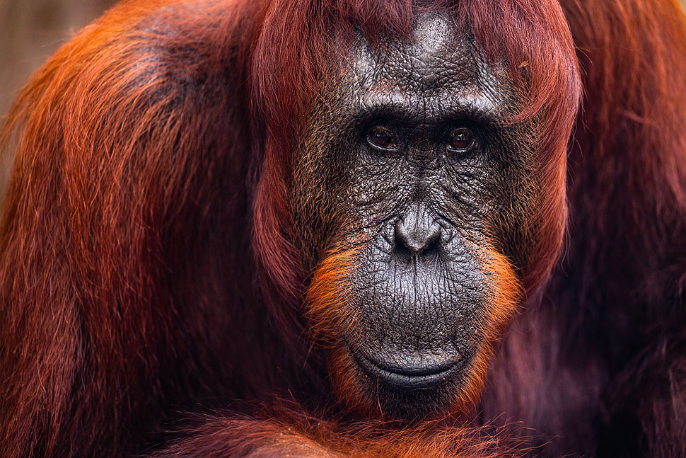 Portrait of an Orangutan Matriarch in Borneo