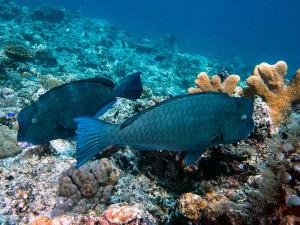 Bumphead Parrotfish in Tubbataha: Underwater Photo Gallery