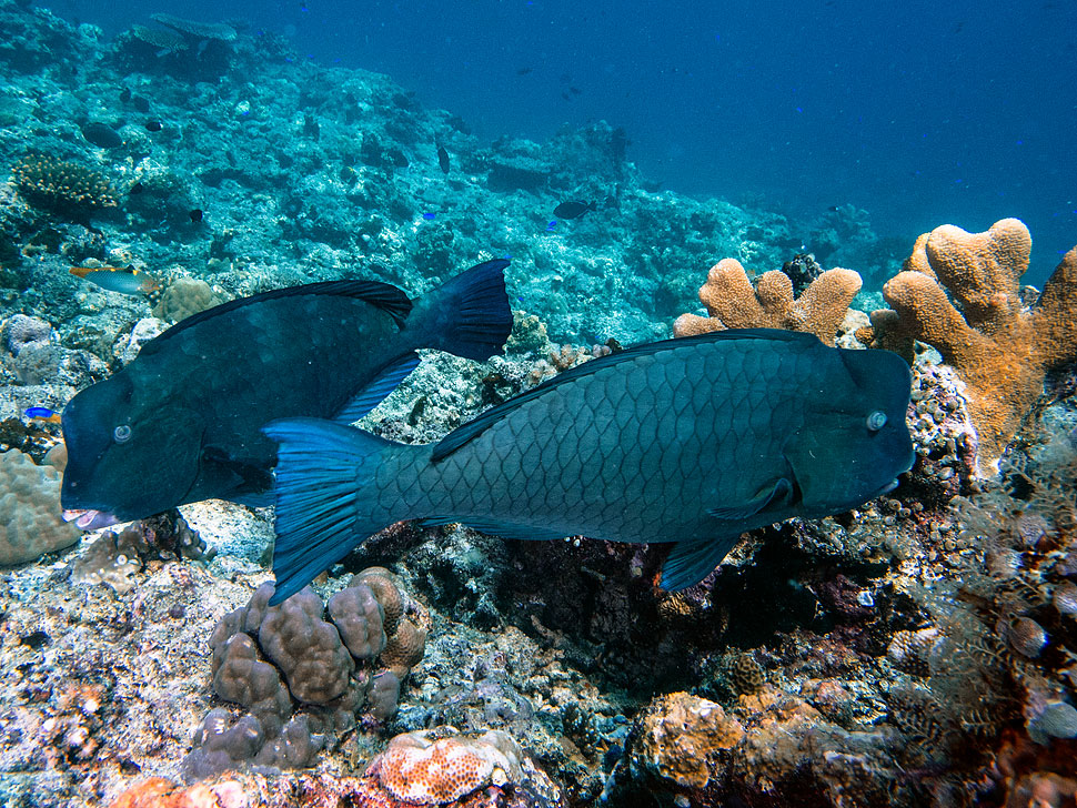 Bumphead Parrotfish in Tubbataha: Underwater Photo Gallery