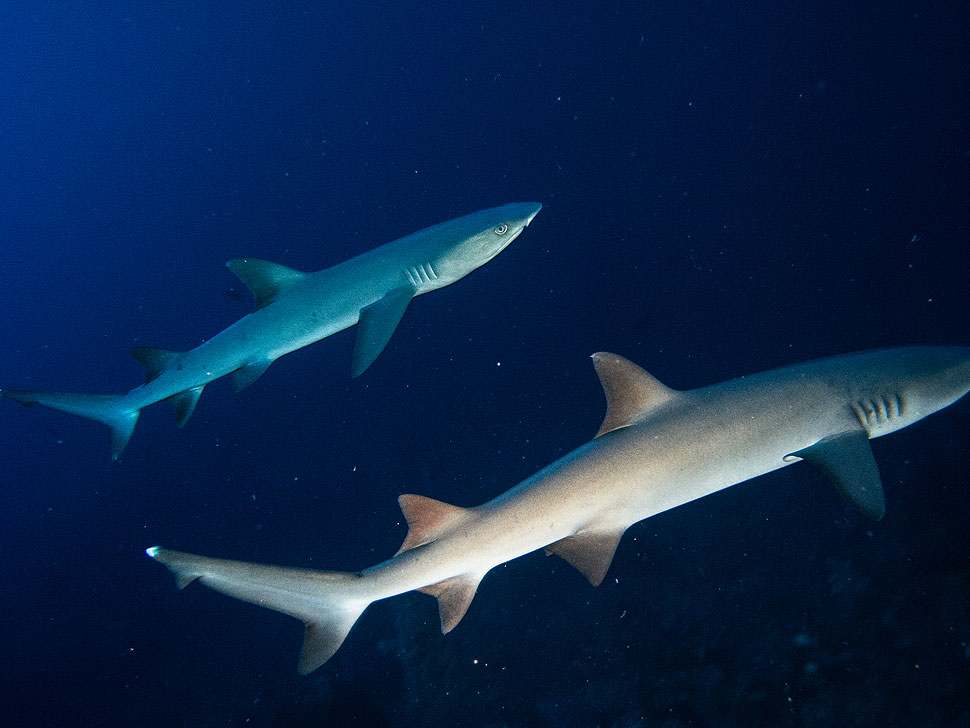 Scuba diving with sharks in Palawan: Underwater Photo Gallery