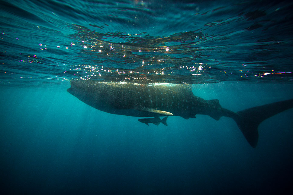 Underwater Photo of a Whale Shark at Sunrise