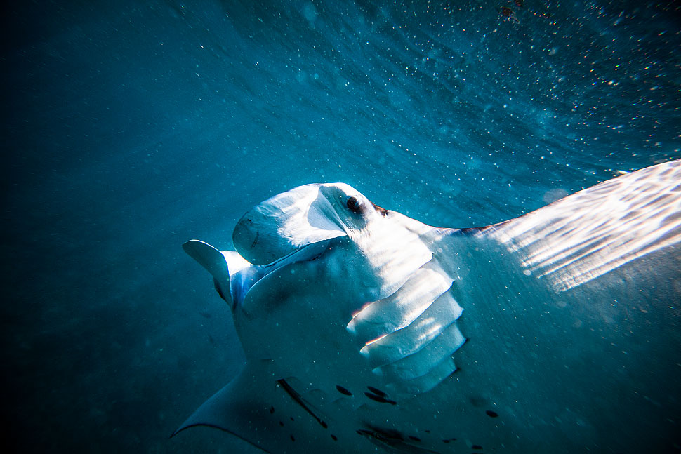 Underwater photo of a manta ray on Nusa Lembongan Bali