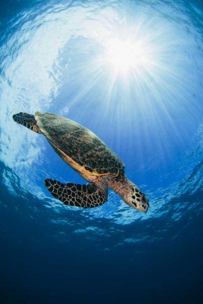 Sunburst Sea Turtle