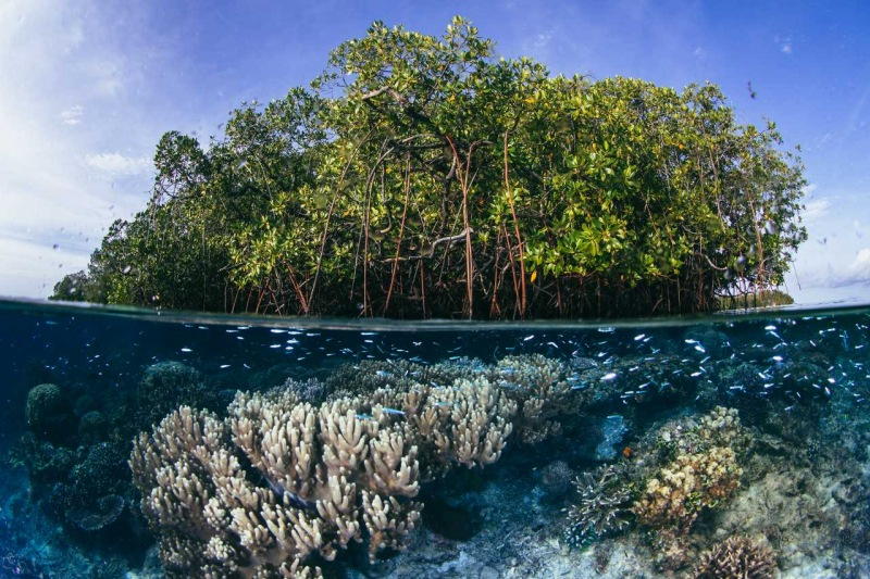 Blue Water Mangrove