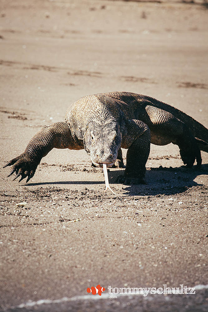 Komodo Dragons: Up-close with Indonesia's Iconic Wildlife -