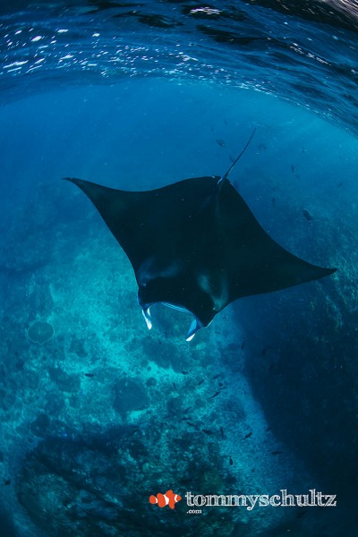 Manta Diving in Komodo National Park