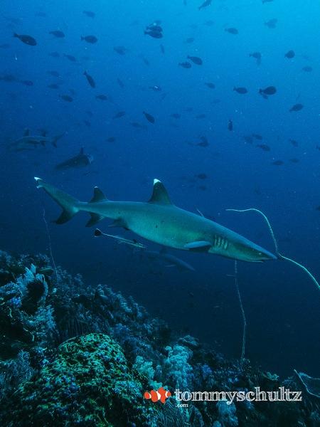 Shark Diving in Komodo National Park: Seven Seas Liveaboard Trip