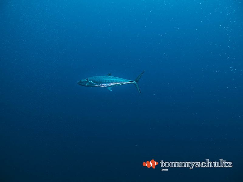 Big Fish, Blue Water: A Raja Ampat Dive Gallery