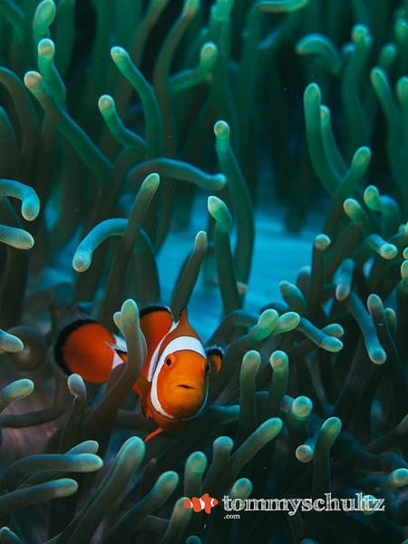 Clown Fish in Raja Ampat: Underwater Photo Gallery