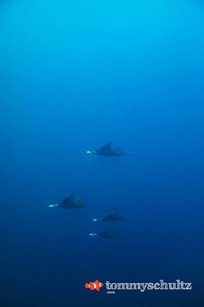 Swimming with Mantas in Raja Ampat: Underwater Photo Gallery