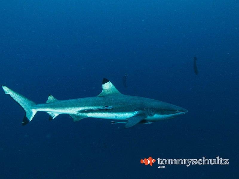 Sharks of Raja Ampat: Underwater Photo Gallery