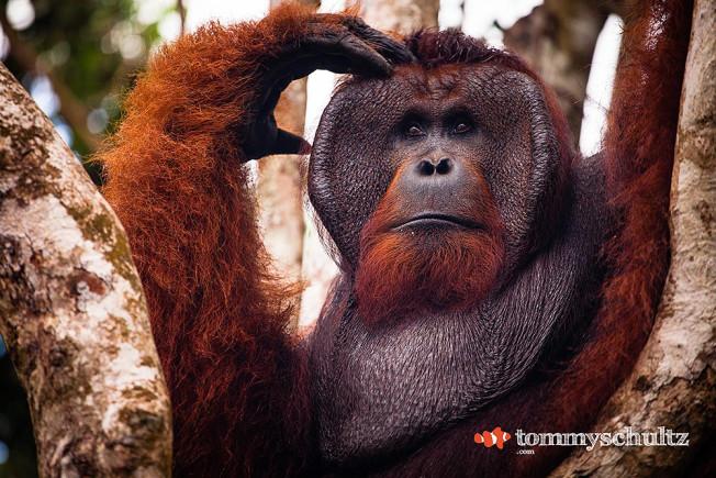 Orangutan Pictures from the Jungle in Borneo