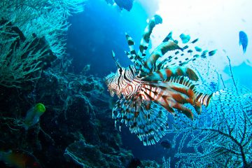 Underwater photography of a Lion Fish in the Philippines