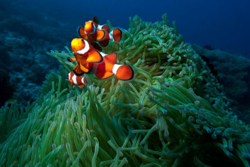 Orange Clown Fish and Green Anemone at the Apo Island Marine Sanctuary