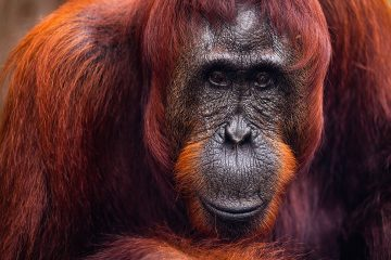 Portrait of an Orangutan Matriarch in Borneo