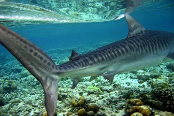 Night Diving with Tiger Sharks in Tubbataha, Palawan