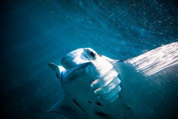Underwater photo of a manta ray on Nusa Lembongan Bali