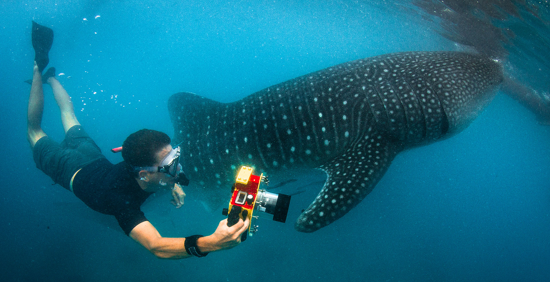 Freediving with whale sharks in the Philippines - Photo by Steve DeNeef