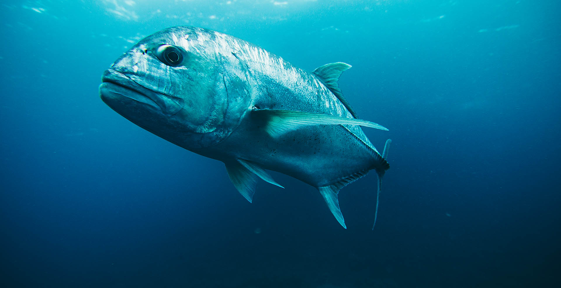 Big Fish Blue Water A Raja Ampat Dive Gallery